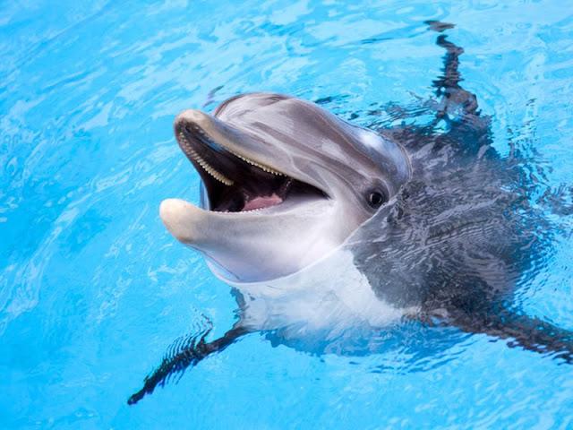 21 Fakta Luar Biasa Tentang Lumba-lumba