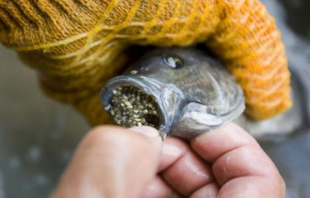 Stop Eating Tilapia Fish As Soon As Possible
