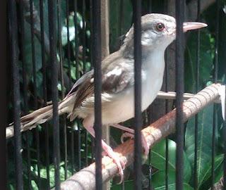 Burung Ciblek - Gangguan Pernapasan yang Menyerang Burung Ciblek dan Cara Penangannannya - Penangkaran Burung Ciblek