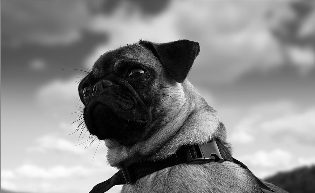 Crazy Pictures Cute Pug Dog Pictures