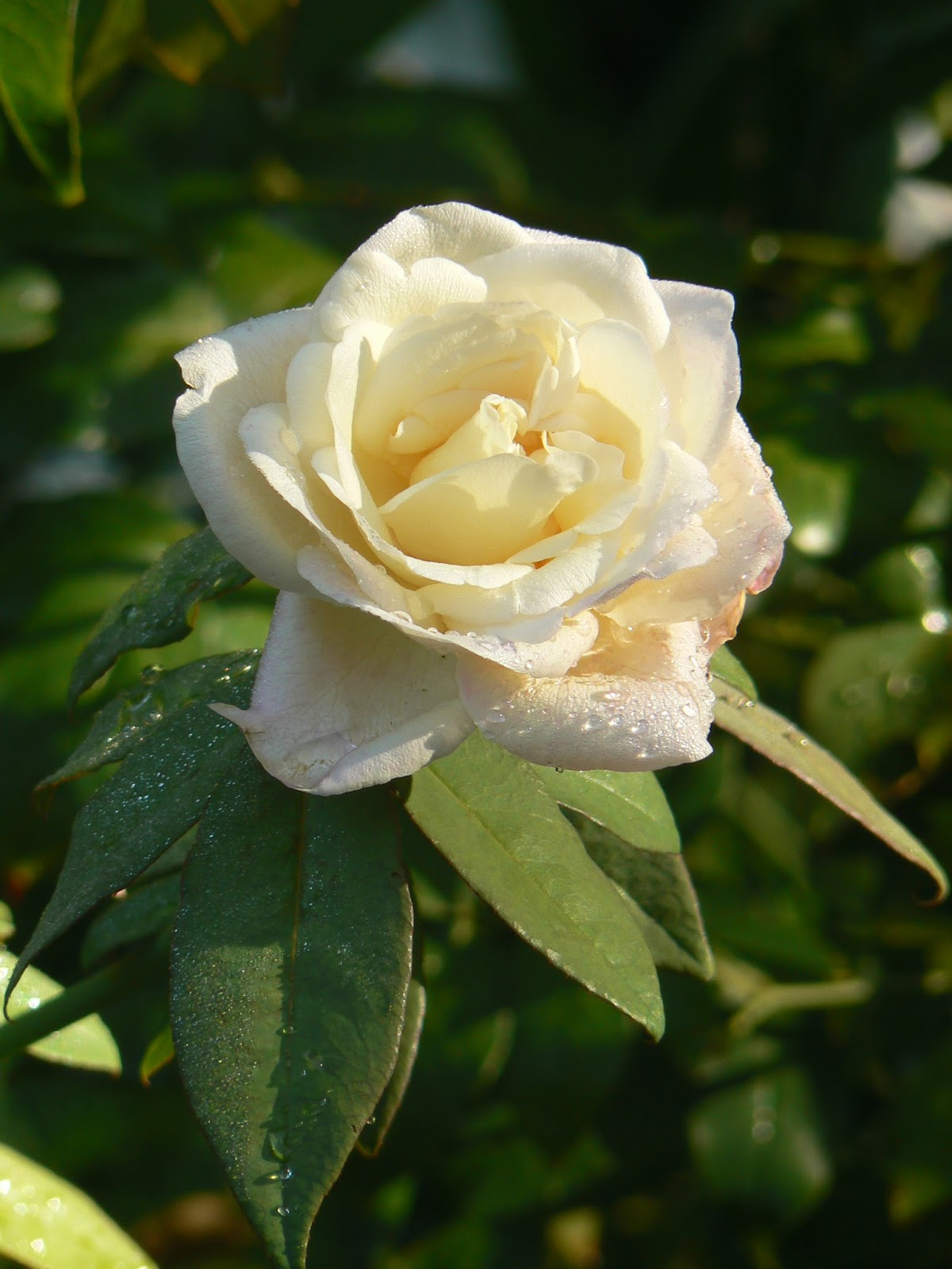 Simple Rose Garden: My Crazy Quilt Life: Wordless Wednesday