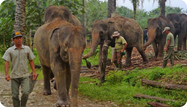 Gajah Taman Nasional Gunung Lauser