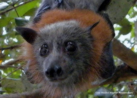Flying Foxes Are Not Foxes! (Confusing Creature Names)