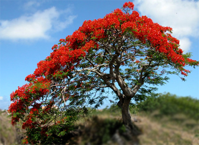 Suas flores são majestosas e de cor vermelha-alaranjada ou amarelas. Cada flor possui 5 pétalas, sendo uma delas maior, com face superior rajada de vermelho ou laranjado sobre um fundo branco com bordas avermelhadas, e 5 sépalas.