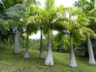 Palmiste marron - Palmier marron - Arbre bouteille - Hyophorbe verschaffeltii