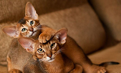 Awesome Facts About Abyssinian Cat, Might You Didn't Know