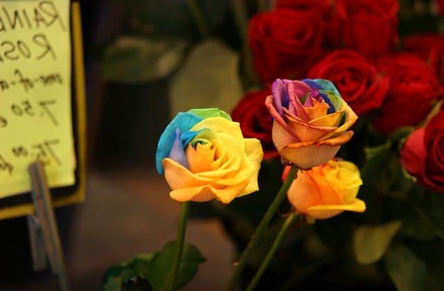Mawar pelangi dapat menjadi simbol keceriaan