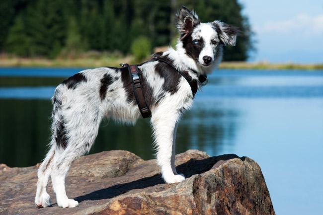 Szelki treningowe dla psa