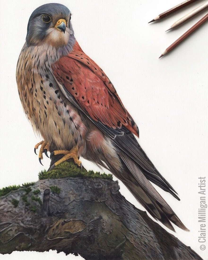 01-Kestrel-Claire-Milligan-Pet-Portraits-and-Wildlife-Art-www-designstack-co
