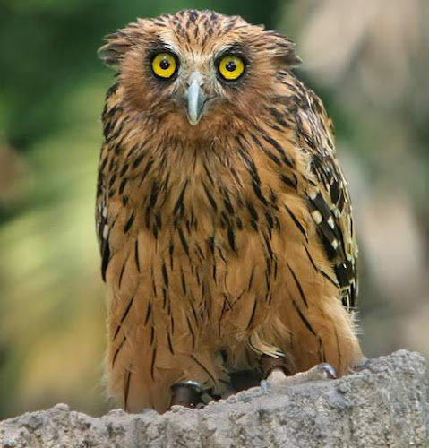 Buffy fish owl - Ketupa ketupu