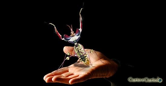 Idolomantis Diabolica: O animal mais estranho que você vai conhecer