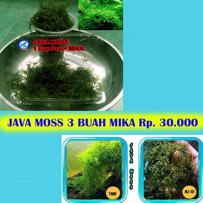 Java Moss 3 Buah Murah Aquascape