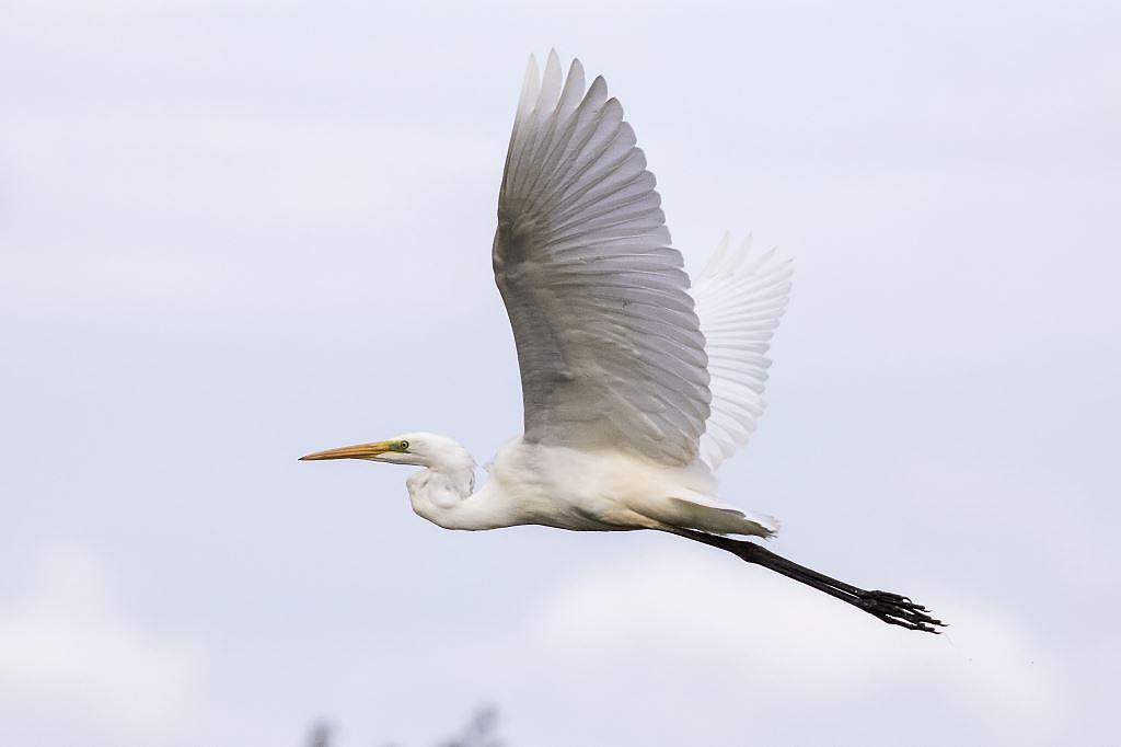 CAMBRIDGESHIRE BIRD CLUB GALLERY: Great White Egret