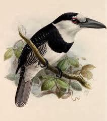 Buco collarejo Notharchus hyperrhynchus