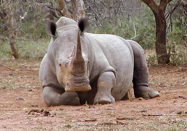 Contoh Descriptive Text Singkat White Rhino Terjemahan