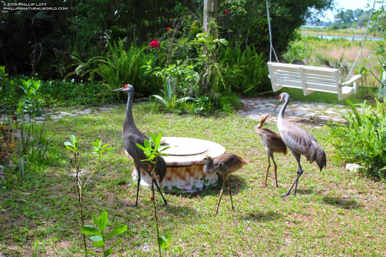 Popular Florida Sandhill Crane Colts (babies) | Phillip's Natural World FI49