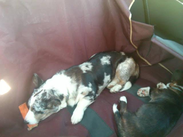 podróże z psem, z psem w drodze, pies w aucie, samochód, welsh corgi, welsh corgi cardigan, toyota, avensis, toyota avensis, sandomierz, w trasie, w trasie z psem, biba, yuma, twiggy, cardimania