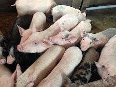 Giá heo (lợn) hơi hôm nay 28/12: Dự báo heo mùa Tết có thể tăng hơn nữa