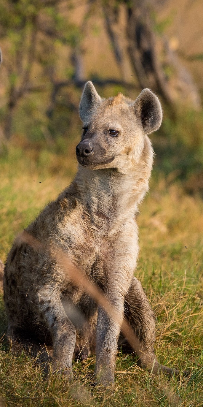 Picture of a hyena.
