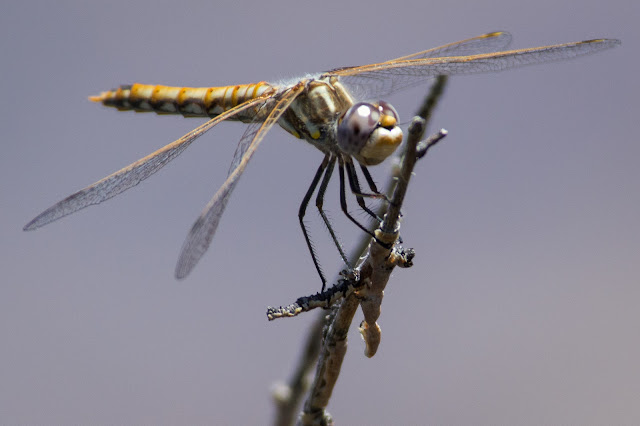 Dragonfly, Grand Canyon
