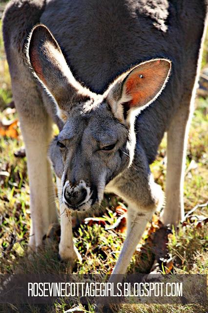 Closeup image of a kangaroo by the rosevinecottagegirls.com