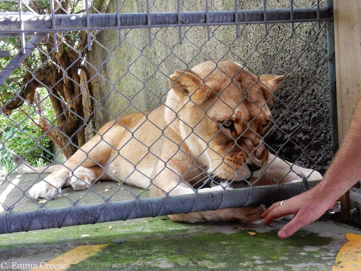 Feeding a Lion at Wellington Zoo, New Zealand - Adventures of a London Kiwi