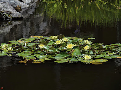 Water lily flowers: Kaizo-ji