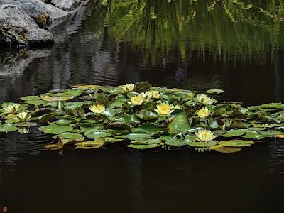 Water lily flowers: Kaizo-ji