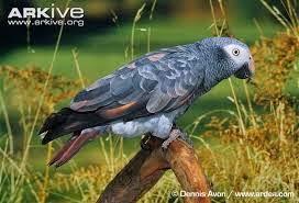Papagayo timneh: Psittacus timneh