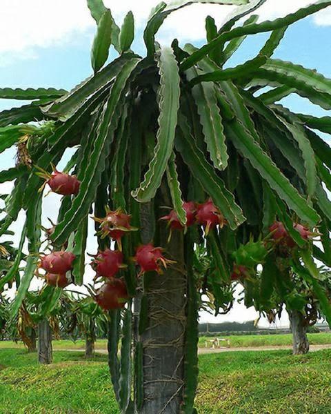 f551d731f9395 Se trata de un cactus poco robusto y de porte arbustivo (aunque los  ejemplares de más edad pueden adquirir un aspecto arbóreo bastante extenso)  que puede ...