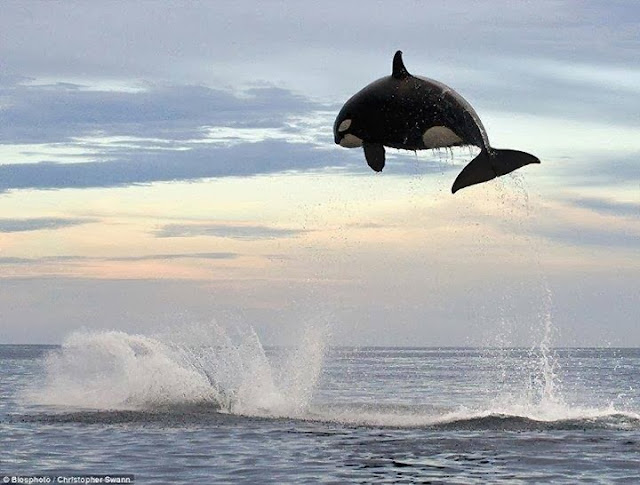 8 ton Orca ( Killer Whale ) jumping 15ft out of the water !!!!!!