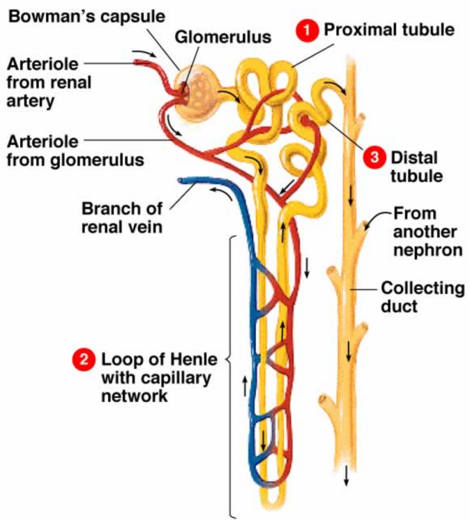 Excretion class 10 life processes each nephron has cup shaped upper end called bowmans capsule contain bundles of blood capillaries called glomeruluse bowmans capsule and glomerulus ccuart Choice Image