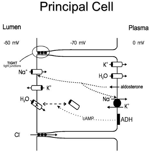 medskul: Aldosterone Mechanism