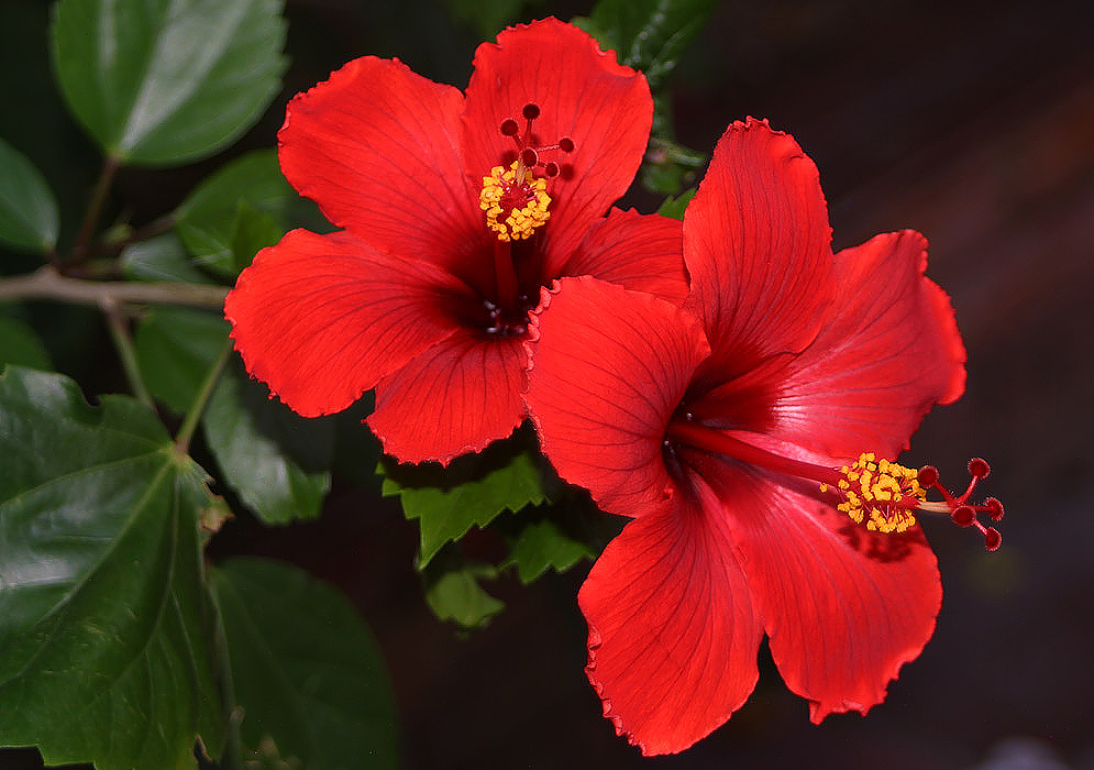 5 Ways You Can Use Hibiscus Powder For Hair
