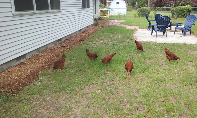 backyard chickens urban farmer