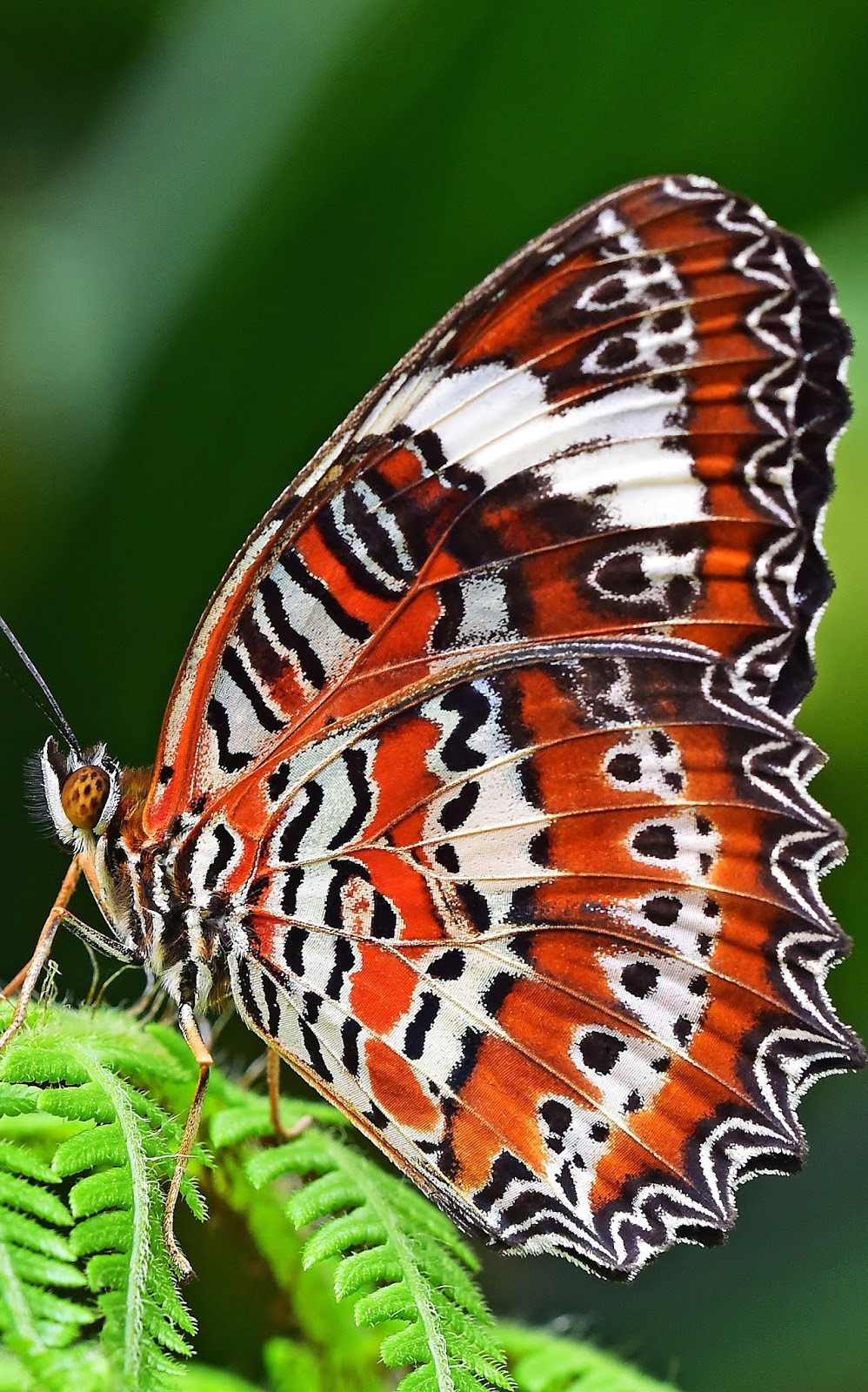 A leopard lacewing butterfly.