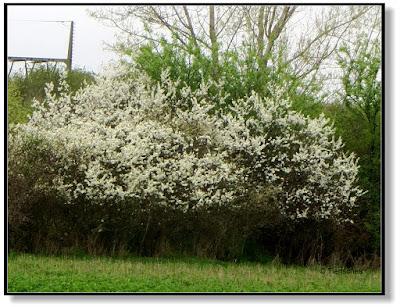 blühender Strauch im Frühling