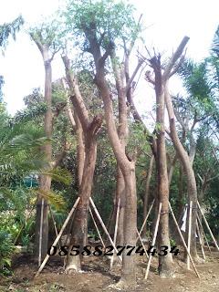 Tukang taman menjual pohon trembesi murah