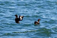 Pigeon Guillemots off Flagstaff Island