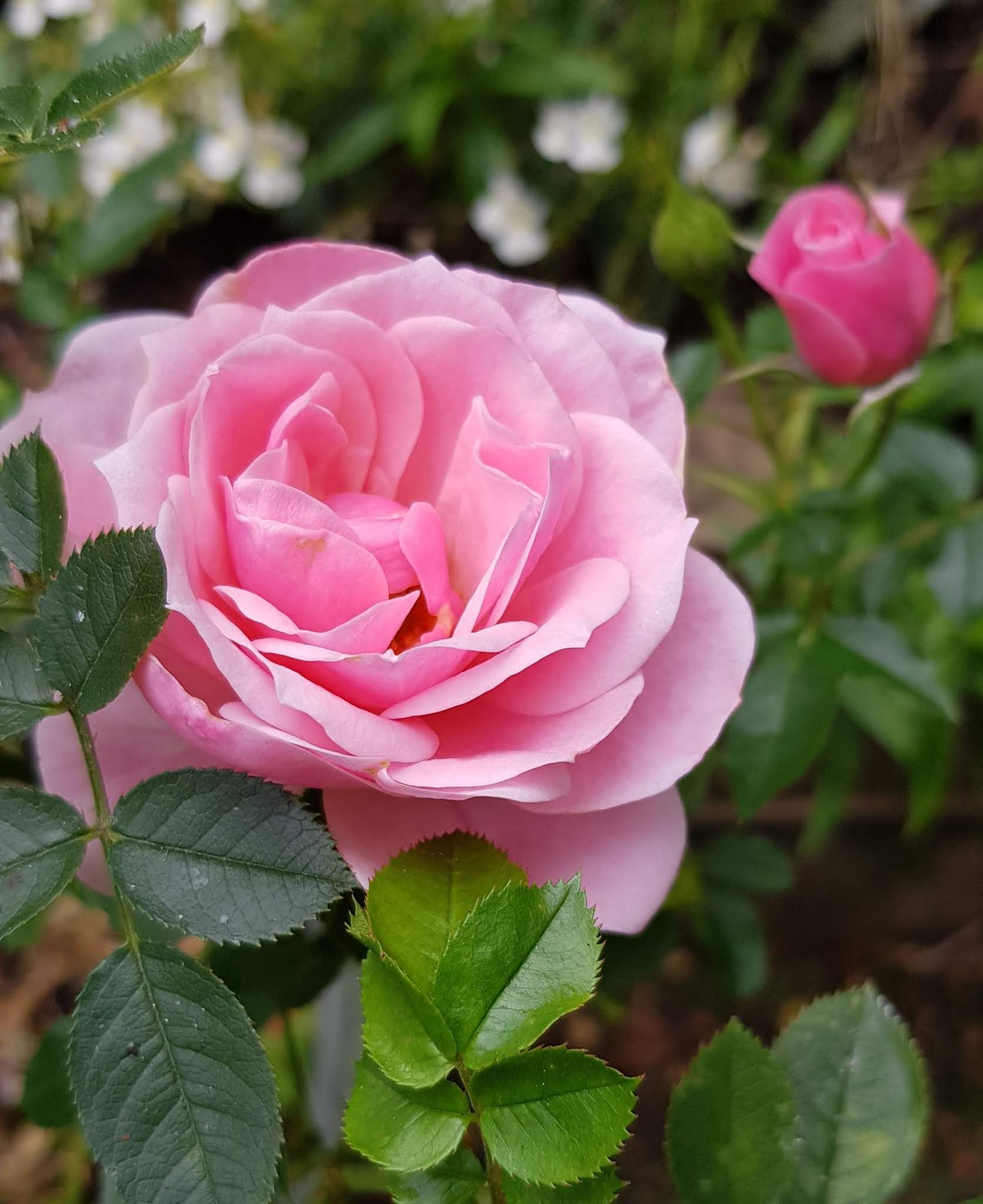 A beautiful rose still blooming in the mild London weather of October 20218