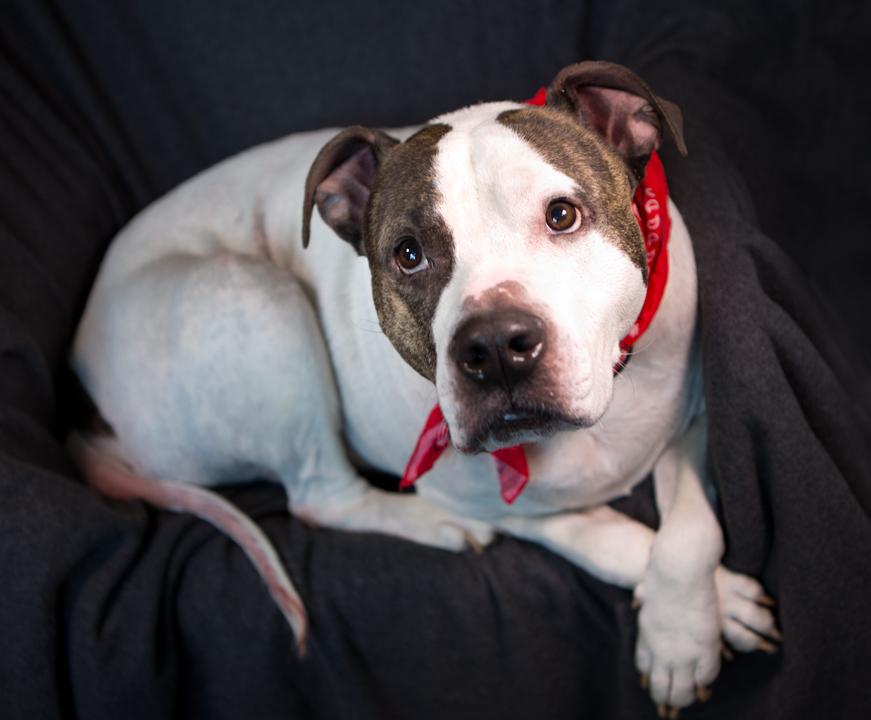 Most Inspiring Pitbull Chubby Adorable Dog - humphrey7  Graphic_331965  .jpg