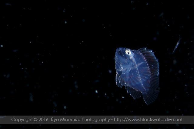 ハダカハオコゼの稚魚