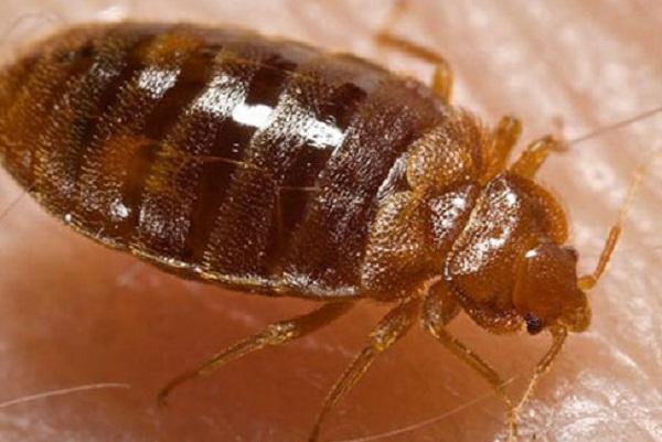 Mối nguy hại của bọ đối với cơ thể chúng ta