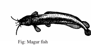 Tips for Agriculture: Method of Shing and Magur fish Culture