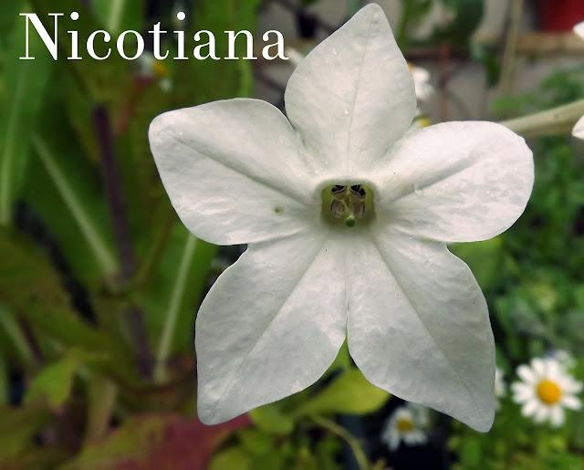 Nicotiana