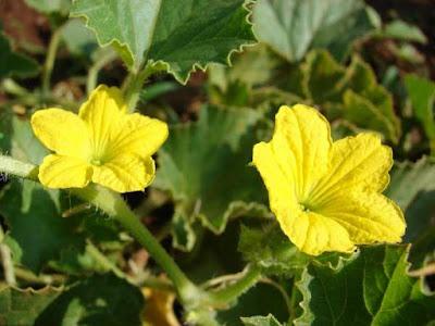 Mẹo chữa bệnh trĩ bằng hoa mướp