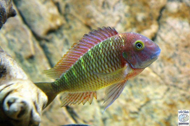 6. Jenis Ikan Hias Aquascape Tropheus Moorii