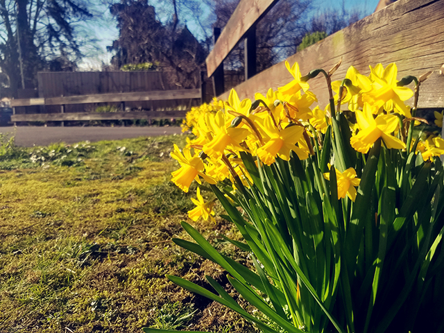 Daffodils at the gate