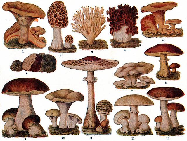 Pengertian dan Klasifikasi Fungi (Jamur)