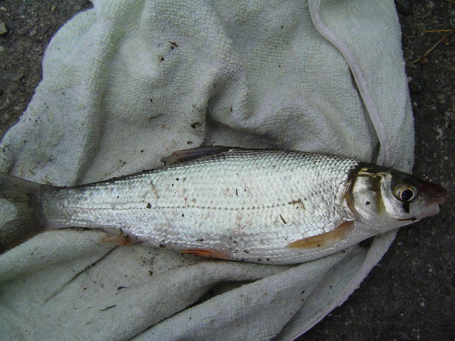 Tarpon123. a Kavalan Angler: 我對釣土鯽魚的一些建議及看法